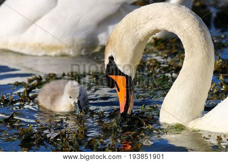 A mute swan cygnet and adult feeding on vegetation floating at the surface