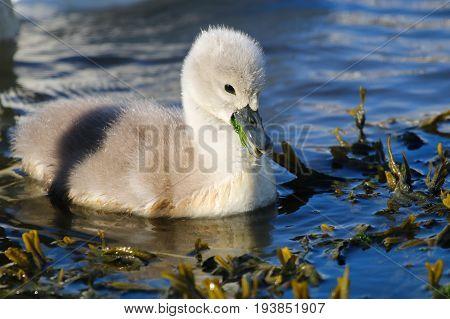A mute swan cygnet with green vegetation in its beak