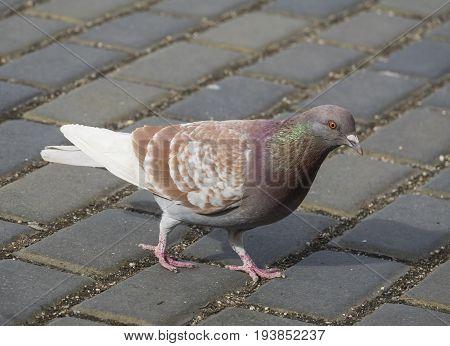 pigeon (Columba livia f. domestica) - urban bird