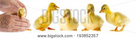 a cute gosling (white goose) isolated on a white