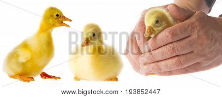 a cute yellow gosling in a hands