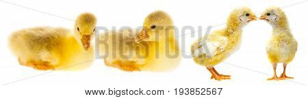 gosling and chickens . close up isolated