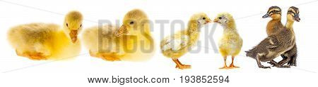gosling duckling and chickens  - close up