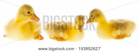 cute yellow goslings - close up isolated