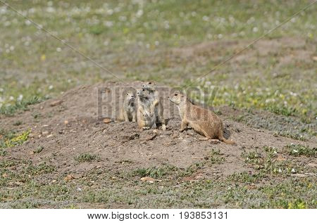 Prairie Dog Family Gathering in Theodore Roosevelt National Park in North Dakota