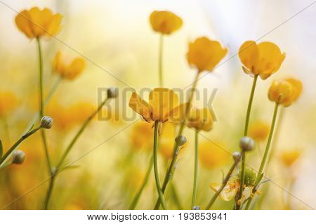 Yellow flowers of field buttercups in the summer.