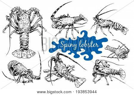 Graphic crayfish drawn in line art style. Spiny or rocky lobster. Sea and ocean creature isolated on white background.