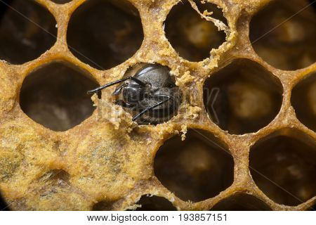 a hatching new bee - bee comb