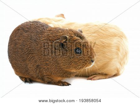 guinea pig isolated on a white background