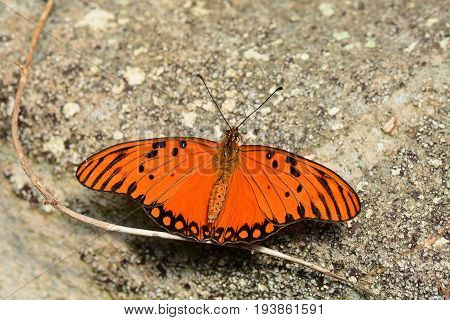 A pretty Gulf fritillary butterfly lands in the gardens for a visit.