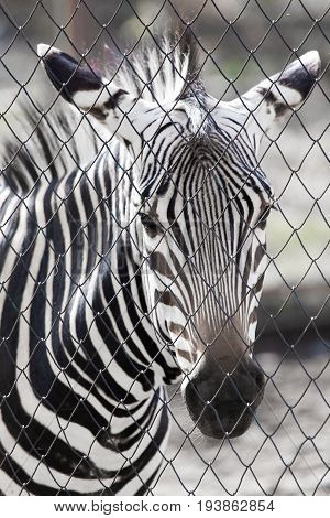 zebra in the zoo An animal in a park in the nature
