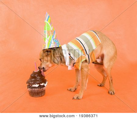 a tiny chihuahua with party attire on poster