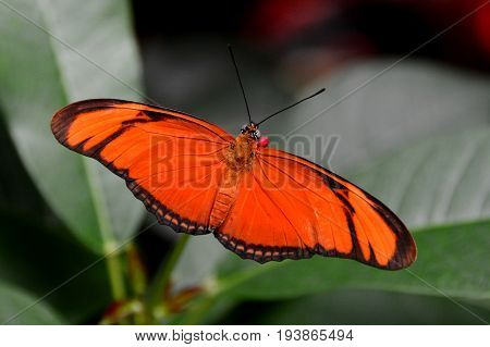 An orange Julia butterfly spreads its wings in the gardens.