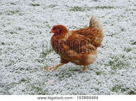 free breeding hen in winter in the garden