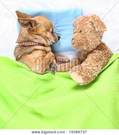 a cute chihuahua sleeping next to a teddy bear