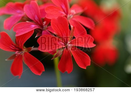 Flower of the geranium hybrid of Pelargonium peltatum.
