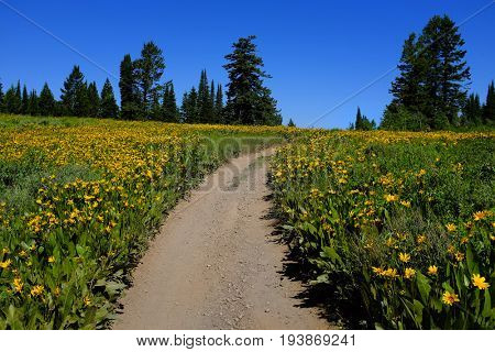 Field of yellow wildflowers flowers and trail