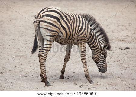 Chapman's zebra (Equus quagga chapmani).