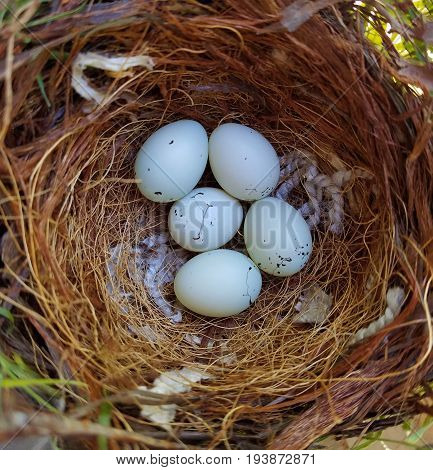 Five house finch eggs in the nest. House finch is a small bird native to western North America.