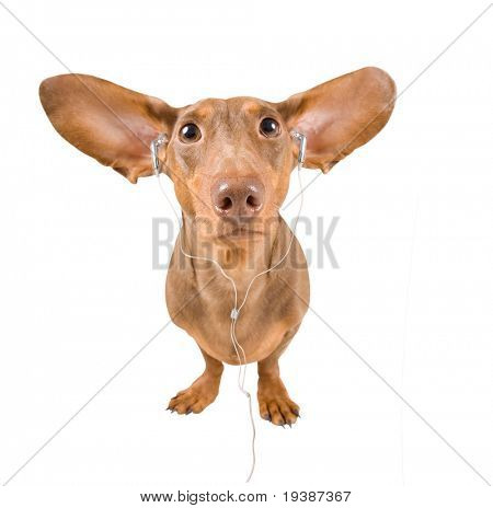 dachshund listening to music on an isolated white background