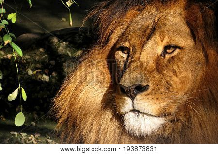The King Lion big cat animal majestic noble wild close-up of face and mane