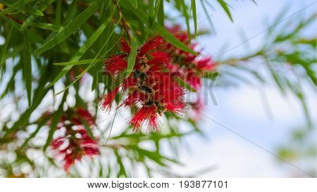 Red Cluster bottle brush flowers in Callistemon tree. Beautiful vibrant flowers background for wallpaper or web design. Space for text.