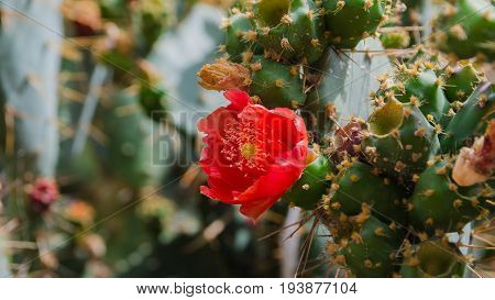 Indian fig or Prickly pears flower blooming. Beautiful vibrant flowers background for wallpaper or web design. Space for text. Opuntia ficus indica image.