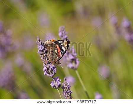 Butterfly red admiral (Vanessa atalanta) on Lavender in a park