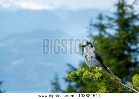 The Grey Jay is a large songbird found in the boreal forests of North America