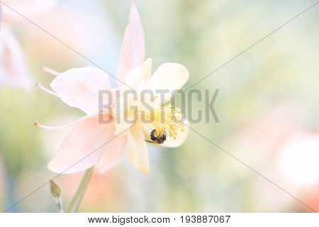 Pink Aquilegia flower with the bee. Flower in pastel shades. Aquilegia in the garden. Selective soft focus