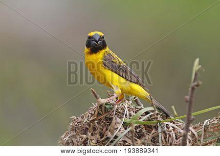 Asian Golden Weaver Ploceus Hypoxanthus Male Birds Building The Nest