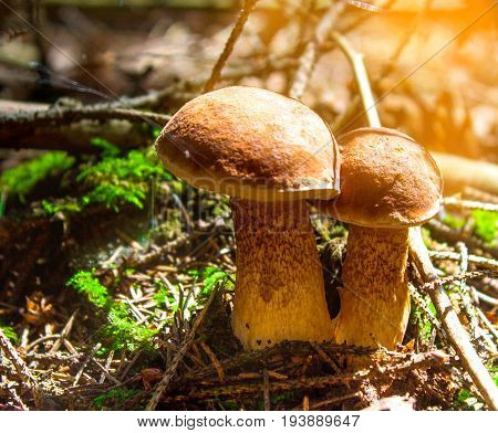 Large edible mushrooms grow in the forest, close-up.