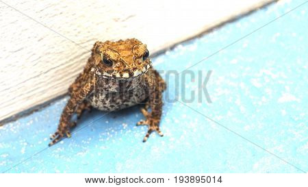 Toad is amphibian his pattern is nice art abstract Photo select focus at head another are blur Background is cement floor blue color has copy space at right.