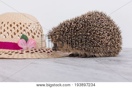 Hedgehog with the hat. Cute Hedgehog on the table