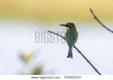 Little bee-eater in Kruger national park, South Africa ; Specie Merops pusillus family of Meropidae