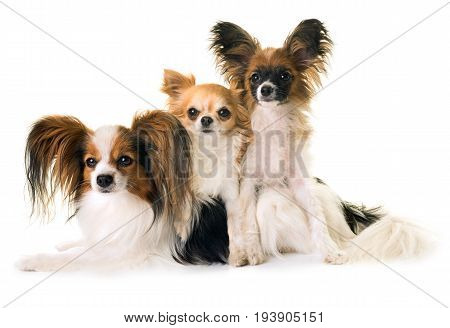 papillon dogs and chihuahua in front of white background