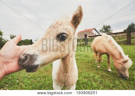 Miniature horses on the pasture. Hand of the farmer caress foal.