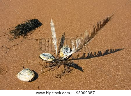 Three shellfish-mollusks, two feathers and algae on the sea sand. Summer background