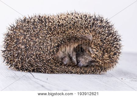 Portrait of little hedgehog cute hedgehog. Hedgehop on the table