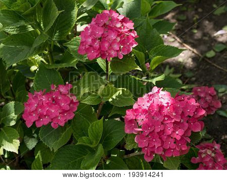Hydrangea flowers. Beauty in nature. Hydrangea macrophylla - Beautiful bush of hydrangea flowers
