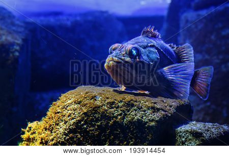 Blackbelly rosefish Helicolenus dactylopterus , also known as bluemouth rockfish.