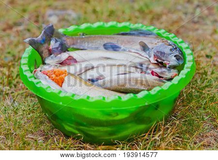 Caught grayling in bowl. Cooking
