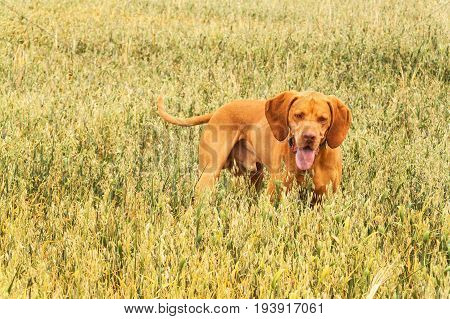 Hungarian hunter Vizsla on hunt in oat field. Summer day