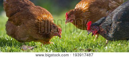 hen in the garden on a farm - free breeding