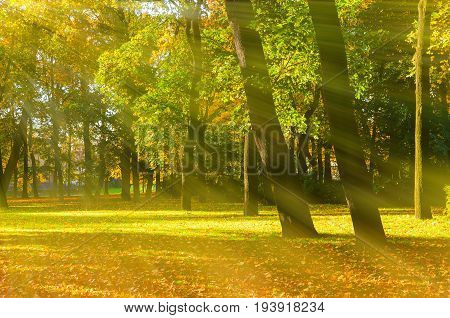 Autumn tree in sunny autumn park lit by sunlight -autumn landscape in sunny weather. Sunny autumn park nature. Yellowed autumn trees and fallen autumn leaves under sunlight. Colorful autumn landscape scene