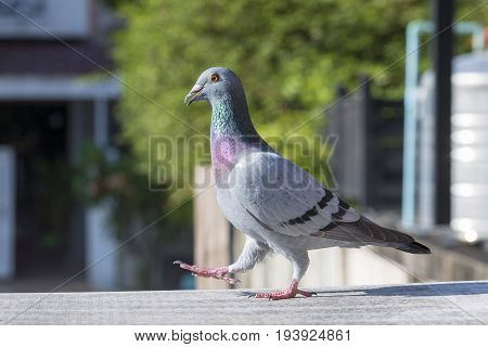 full body of homing pigeon bird forward walking on home roof