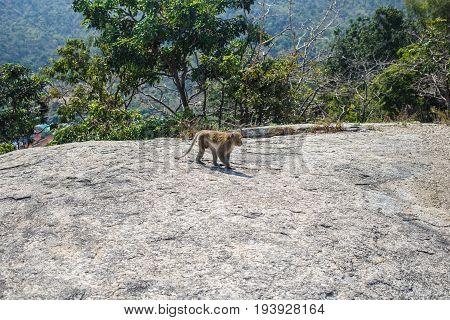 Monkey walks along the rock in Hua Hin, Thailand.