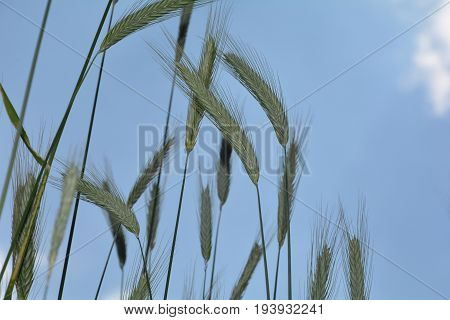 Green grain ears against blue sky   from underneath