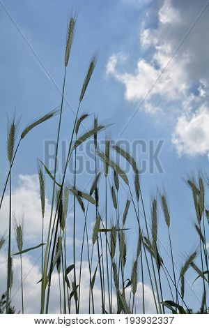 Grain ears   from underneath against blue sky