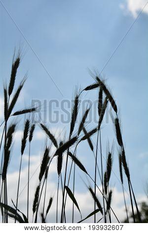 Grain ears against blue sky in silhouette
